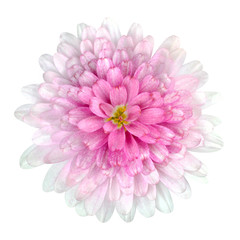 Dahlia Flower pink petals Isolated on White