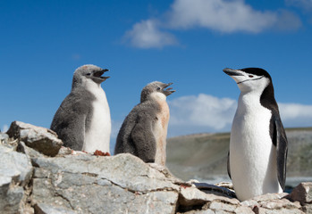 Chinstrap penguin with two chicks
