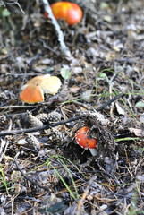 mushrooms on a forest glade