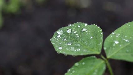 雨の日の大豆の葉