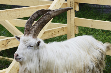 goat in a wooden pen