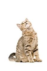 Curious cat Scottish Straight