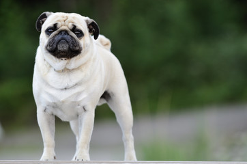 Pug standing in front outdoors