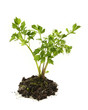 fresh and healthy leaved parsley plant