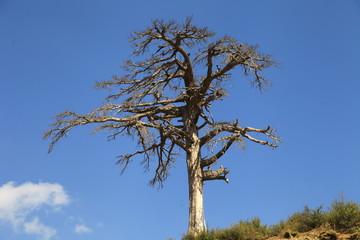 kurumuş meşe ağacı