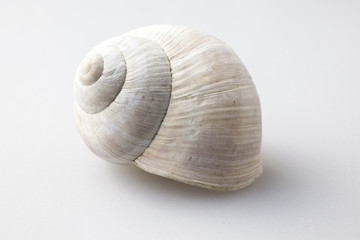 Roman snail shell on a white background