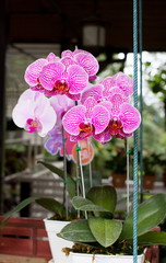 Phalaenopsis purple stripe x hybrid Orchid flower bloom