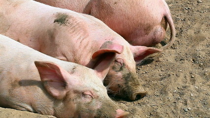 Pigs sleeping in the paddock