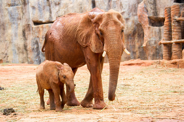A baby african elephant