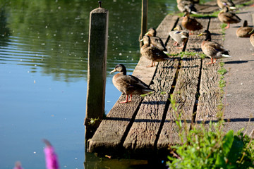 Ducks sunbathing on wooden jetty