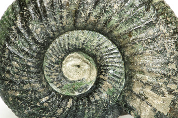 Orthosphinctes piccolo close up, ammonite fossile - Neumarkt