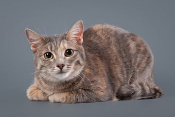 young blue tortoise domestic cat on gray background