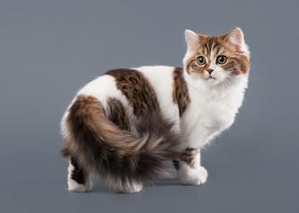 Bicolor harlequin scottish highland kitten with white on gray ba