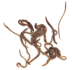earthworms on a white background