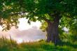 Leinwandbild Motiv Oak tree in full leaf in summer standing alone