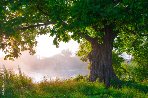 Poster Landschappen Oak tree in full leaf in summer standing alone