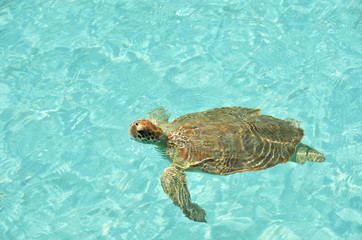 Green sea turtle. Exuma, Bahamas
