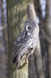 Great Grey Owl, Lapland Owl, Strix nebulosa