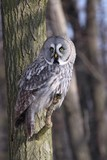 Great Grey Owl, Lapland Owl