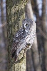 Great Grey Owl, Lapland Owl, Strix nebulosa