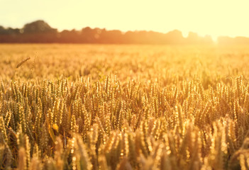 Ripening wheat as background