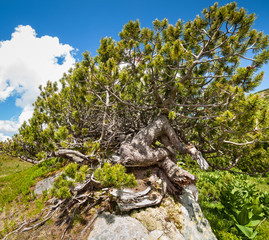 Swiss mountain pines