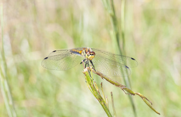 Yellow dragonfly on a plant straw