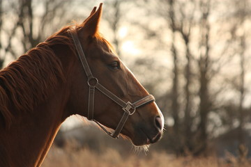 Beautiful chestnut horse portrait in sunset