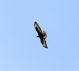 eagle in the blue sky