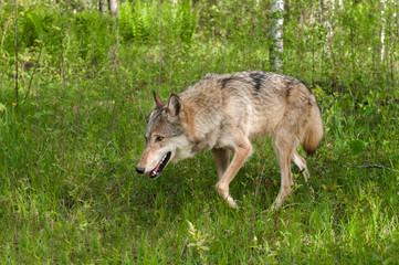 Grey Wolf (Canis lupus) Prowls Left Through Grasses