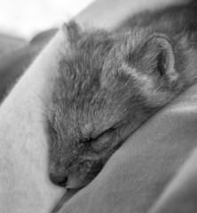 Red Fox Kit (Vulpes vulpes) Snuggles in for a Nap