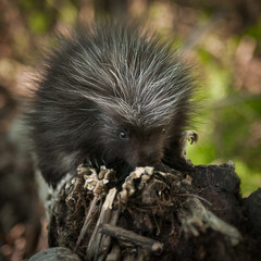 Baby Porcupine (Erethizon dorsatum) Sniffs at Branch