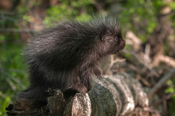 Baby Porcupine (Erethizon dorsatum) Looks Up