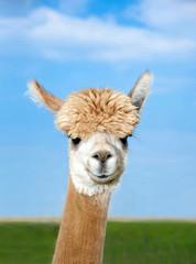 Alpaka Kopf auf Weide © grafikplusfoto
