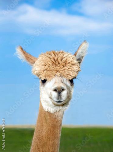 Foto op Plexiglas Lama Alpaka Kopf auf Weide
