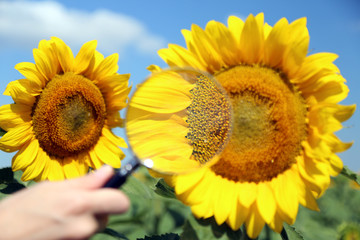 Analyzing sunflowers with magnifier in field