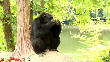 chimpanzee eat fruits in chiangma-nightsafari Thailand