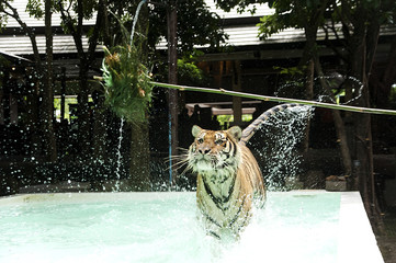 Tiger running through pool.
