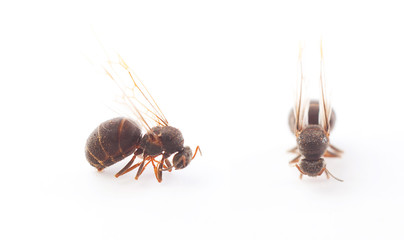 Queen Ant on White