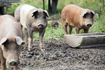 Schweine mit Trog auf der Weide