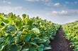 Leinwandbild Motiv Soybean Field