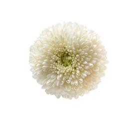 chrysanthemum flower on white background