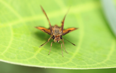 Brown insect on green leaf.