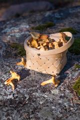 Fresh picked mushrooms in the basket.