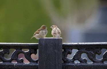 Couple of sparrows on stone fence.