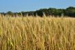 Постер, плакат: Пшеничное поле