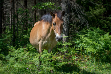 Almost wild - Gotland pony is a semi-feral breed in Sweden