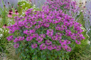 Violette Blumenpracht