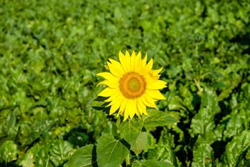 Feld mit Zuckerrüben und Sonnenblume