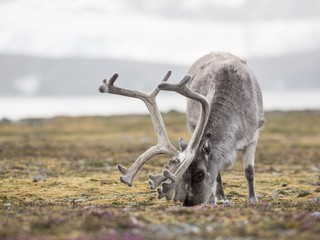 WIldlife in the Arctic - reindeer